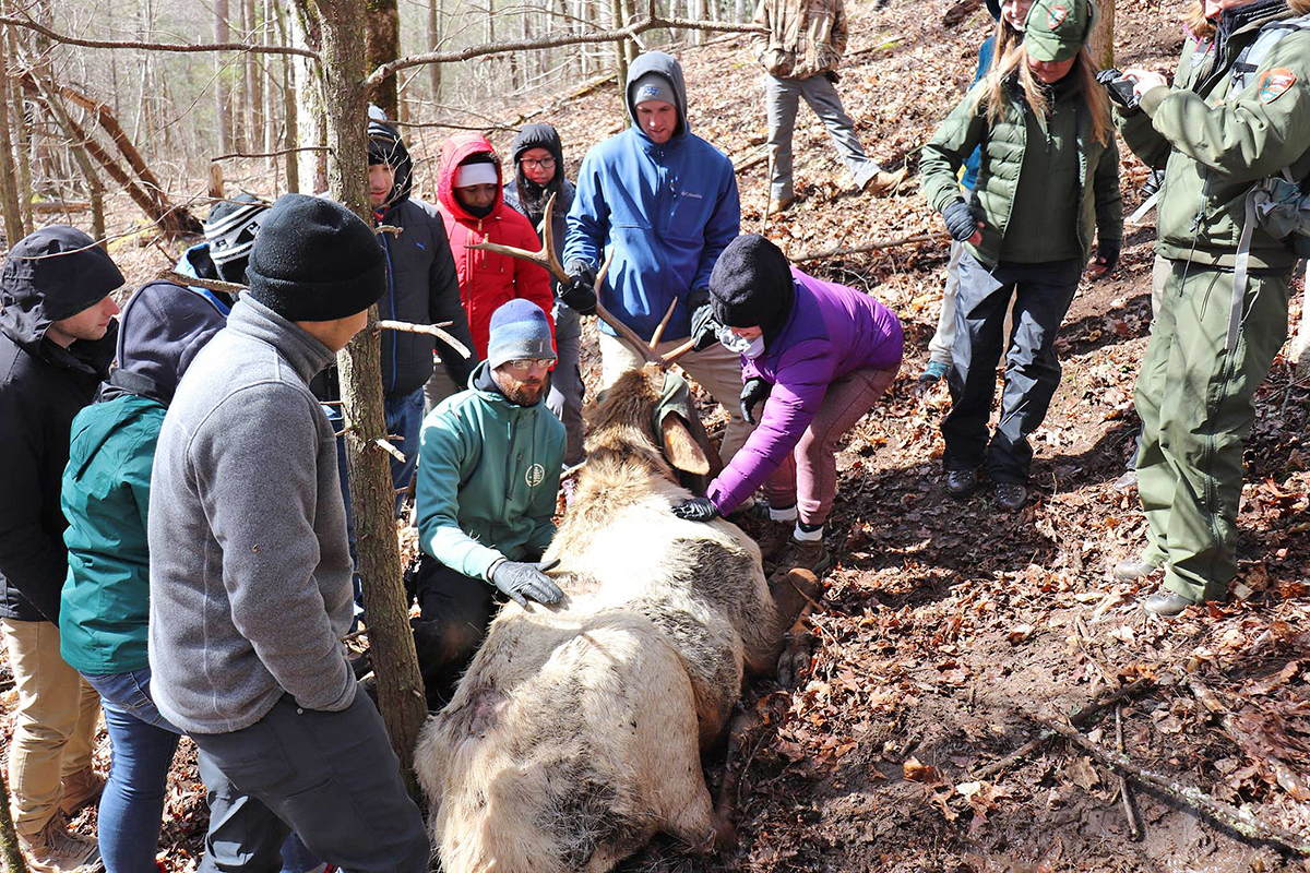 "MTSU graduate student Lee Rumble, kneeling, and the other ""SmokyMtnU"" students took measurements of a bull elk as part of Great Smoky Mountains National Park officials' data check on the herd March 5. (Submitted photo by Ashley Morris)"