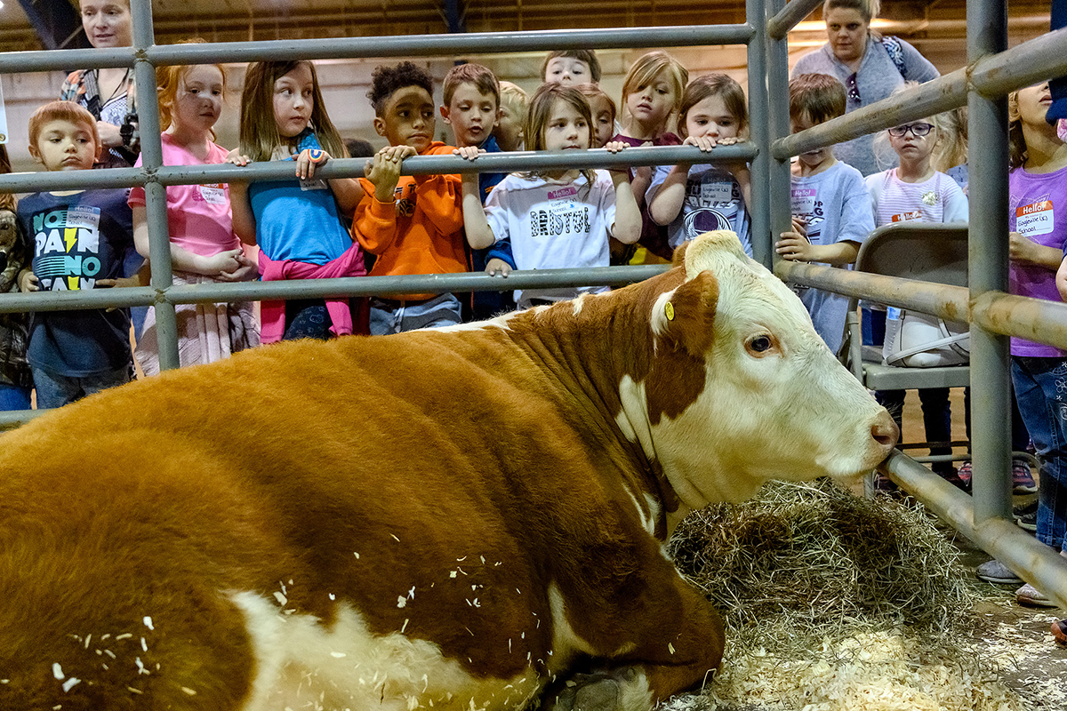 """Children from several area elementary schools are in awe of """"Cracker Jack,"""" a beef cow, Tuesday (April 16) during the fifth annual MTSU Ag Education Spring Fling in the Tennessee Livestock Center. The children learned about life on the farm during the field trip."""