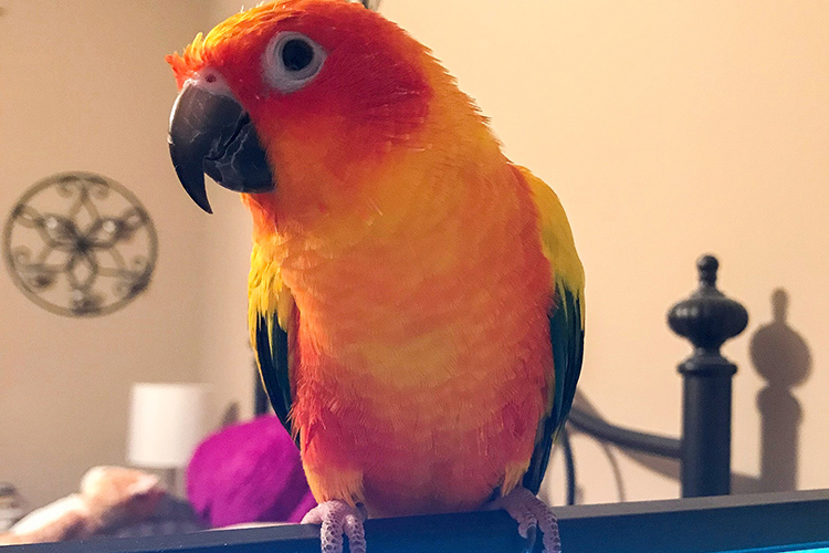 Peaches the sun conure bird makes uplifting appearances with Melissa Houghton, analyst at Middle Tennessee State University's College of Graduate Studies, on office Zoom meetings. (Photo courtesy of Melissa Houghton)