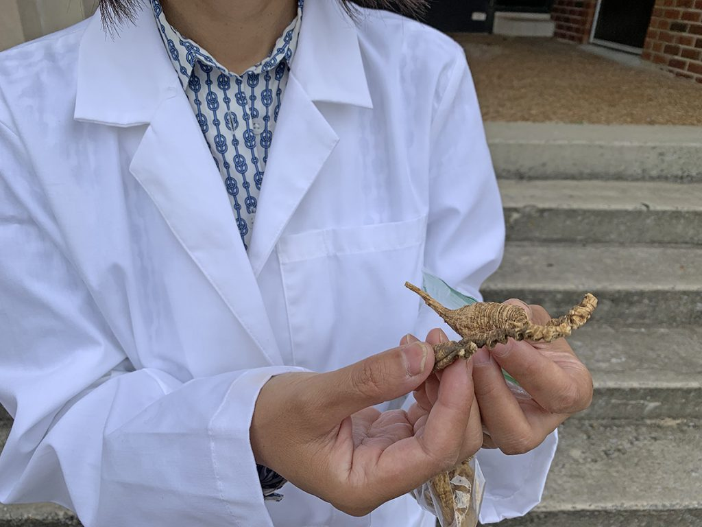 Dr. Iris Gao holds two pieces of wild ginseng taken from her Stark Agriculture Building lab. Gao is leading a research collaboration involving students and staff members from MTSU, UVA Wise, UT-Knoxville, Penn State, N.C. State that's part of nearly $750,000 in funding, including a $455,000 USDA grant . (MTSU photo by Randy Weiler)