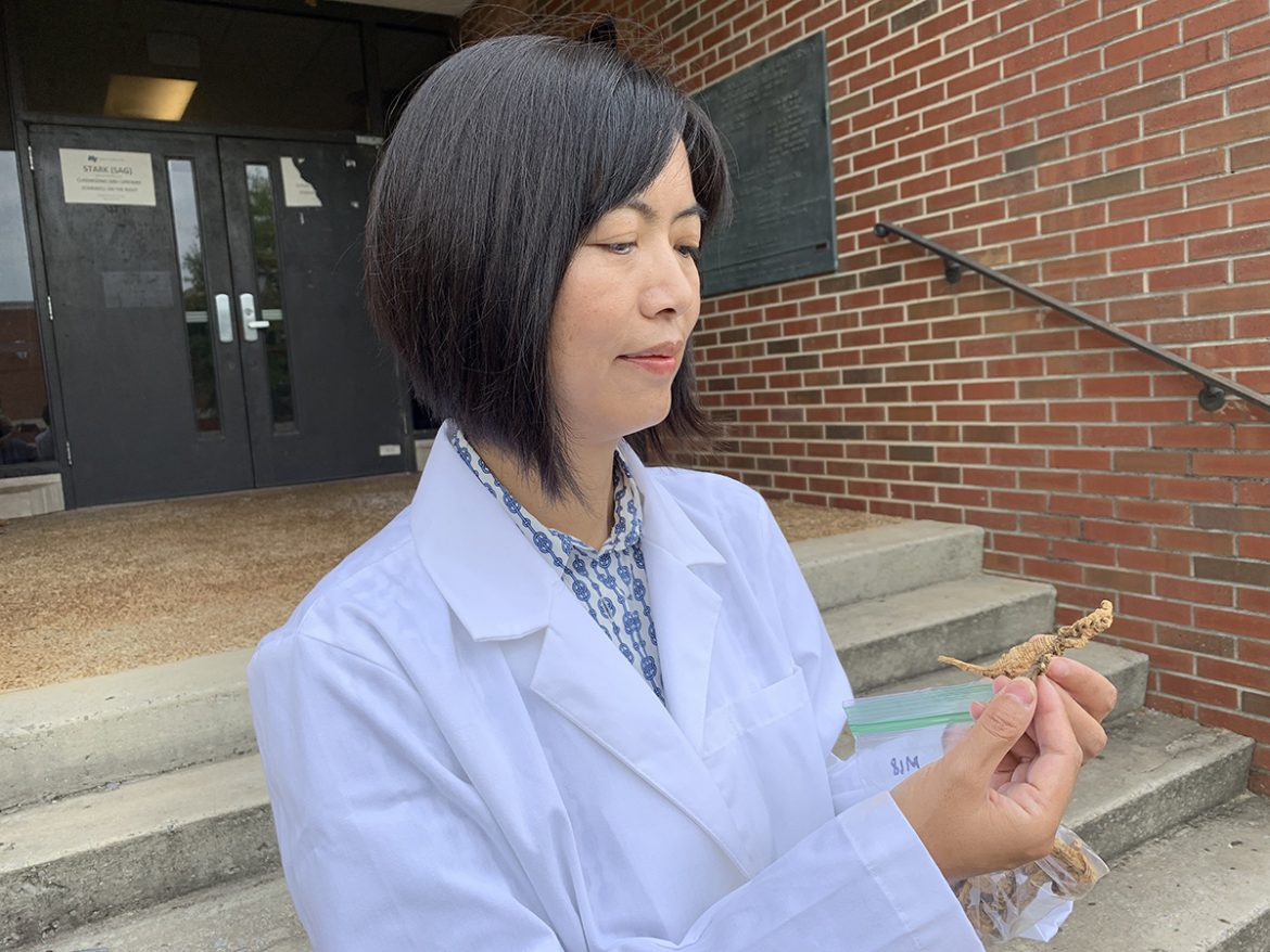Dr. Iris Gao, MTSU professor and International Ginseng Institute director, nspects two pieces of ginseng from the institute's laboratory. A team of MTSU researchers, including students, will be working in tandem with those from UT-Knoxville, Penn State, N.C. State and UVA-Wise on a three-year grant to study ginseng and find positive results to aid rural farmers and growers in the Appalachian Mountains. (MTSU photo by Randy Weiler)